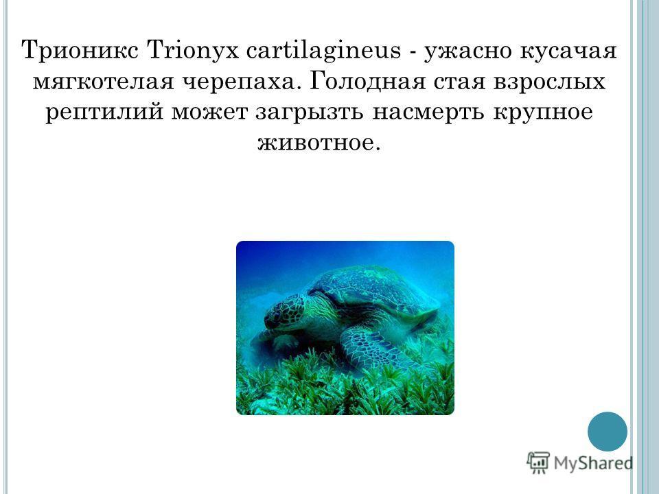 Трионикс Trionyx cartilagineus - ужасно кусачая мягкотелая черепаха. Голодная стая взрослых рептилий может загрызть насмерть крупное животное.
