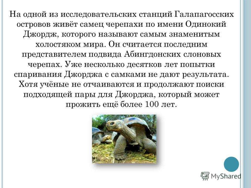 На одной из исследовательских станций Галапагосских островов живёт самец черепахи по имени Одинокий Джордж, которого называют самым знаменитым холостяком мира. Он считается последним представителем подвида Абингдонских слоновых черепах. Уже несколько