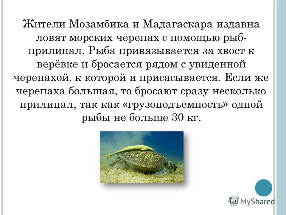 Жители Мозамбика и Мадагаскара издавна ловят морских черепах с помощью рыб- прилипал. Рыба привязывается за хвост к верёвке и бросается рядом с увиденной черепахой, к которой и присасывается. Если же черепаха большая, то бросают сразу несколько прили