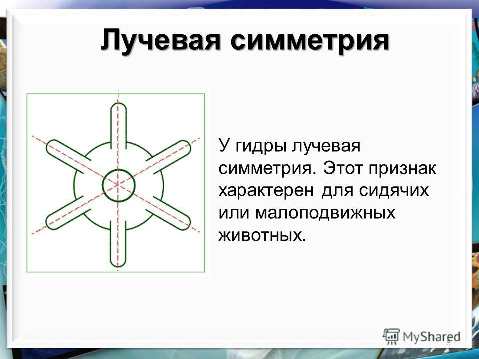 5 Лучевая симметрия У гидры лучевая симметрия. Этот признак характерен для сидячих или малоподвижных животных.