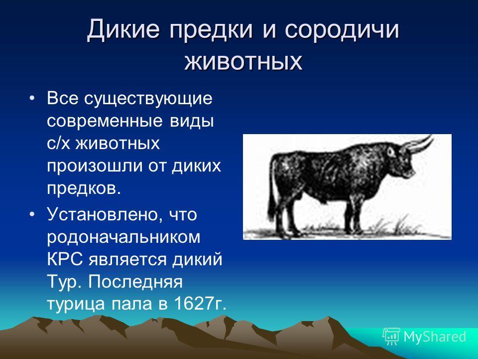 Дикие предки и сородичи животных Все существующие современные виды с/х животных произошли от диких предков. Установлено, что родоначальником КРС является дикий Тур. Последняя турица пала в 1627г.