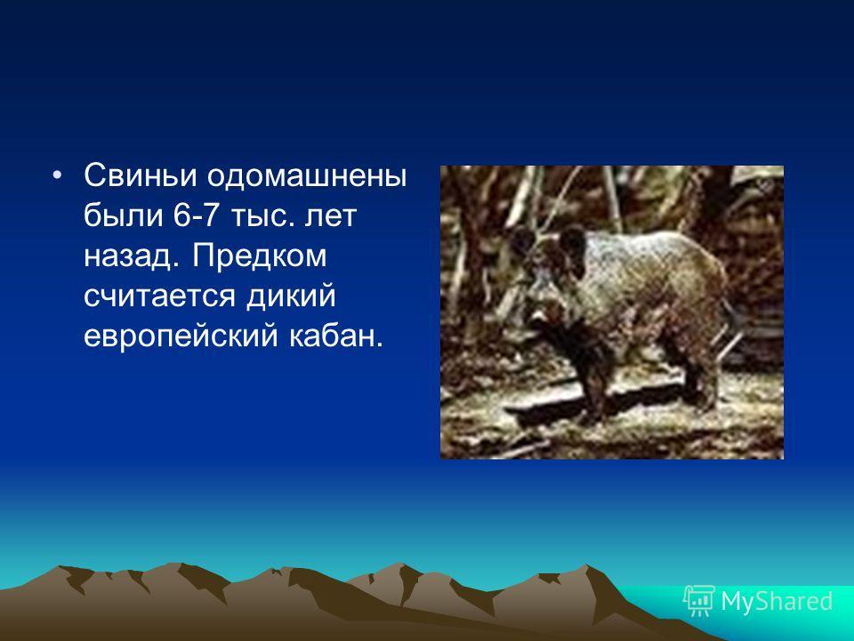 Свиньи одомашнены были 6-7 тыс. лет назад. Предком считается дикий европейский кабан.