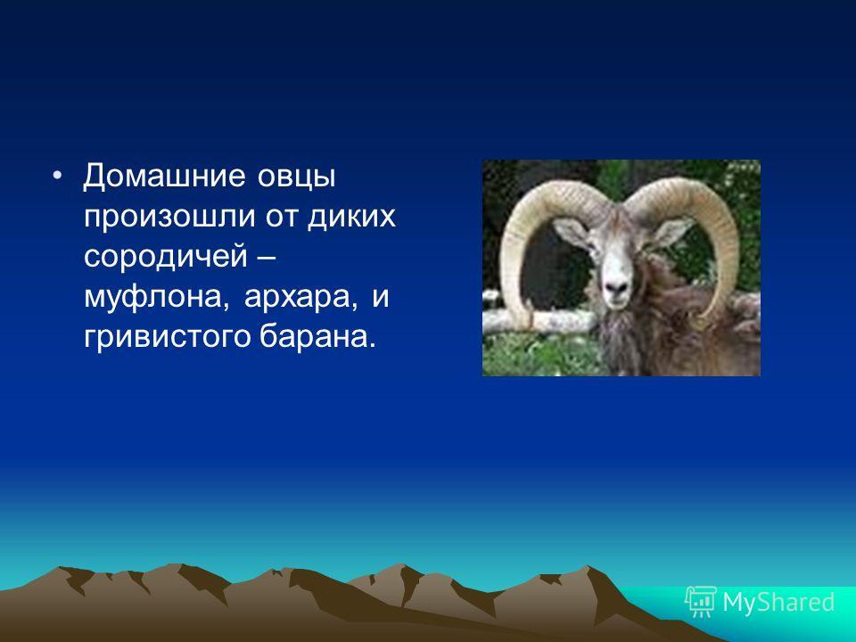 Домашние овцы произошли от диких сородичей – муфлона, архара, и гривистого барана.