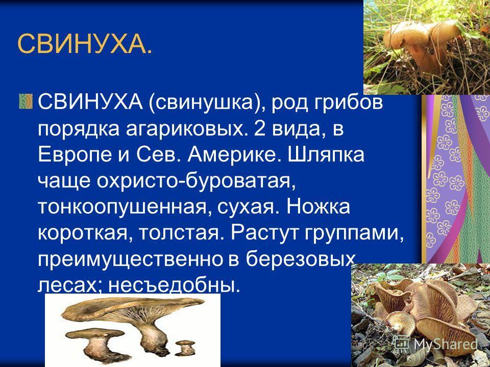 СВИНУХА. СВИНУХА (свинушка), род грибов порядка агариковых. 2 вида, в Европе и Сев. Америке. Шляпка чаще охристо-буроватая, тонкоопушенная, сухая. Ножка короткая, толстая. Растут группами, преимущественно в березовых лесах; несъедобны.