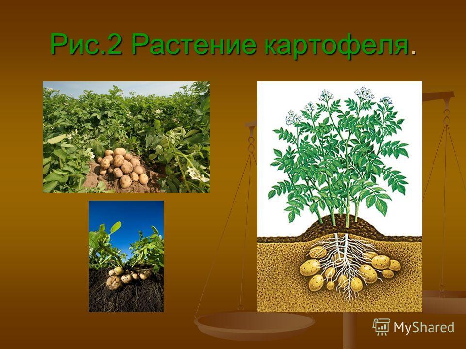 Рис.2 Растение картофеля.