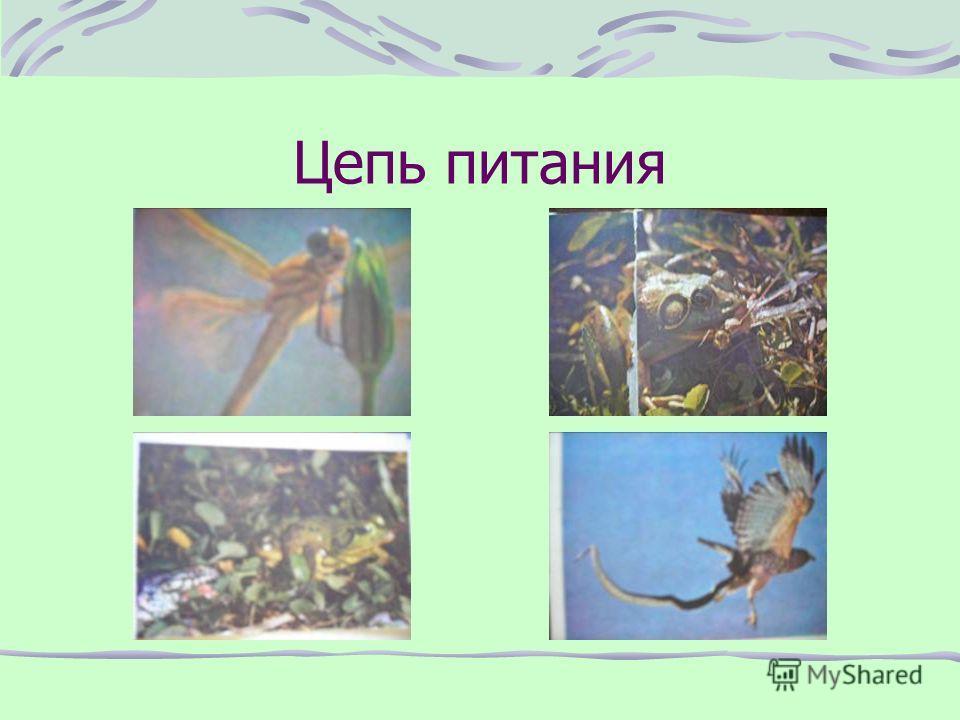 Хвостатые земноводные Наиболее древняя и относительно немногочисленная группа амфибий около 500 видов. Туловище удлиненное, округлое, с длинным хвостом, сохраняющимся всю жизнь. Передние и задние конечности одинаковой длины, поэтому они передвигаются