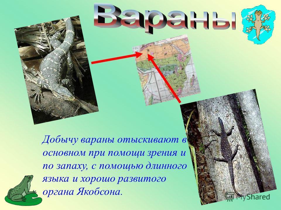 Добычу вараны отыскивают в основном при помощи зрения и по запаху, с помощью длинного языка и хорошо развитого органа Якобсона.