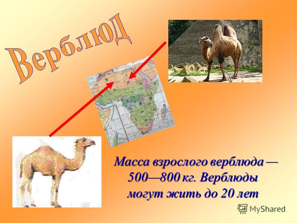 Масса взрослого верблюда 500800 кг. Верблюды могут жить до 20 лет