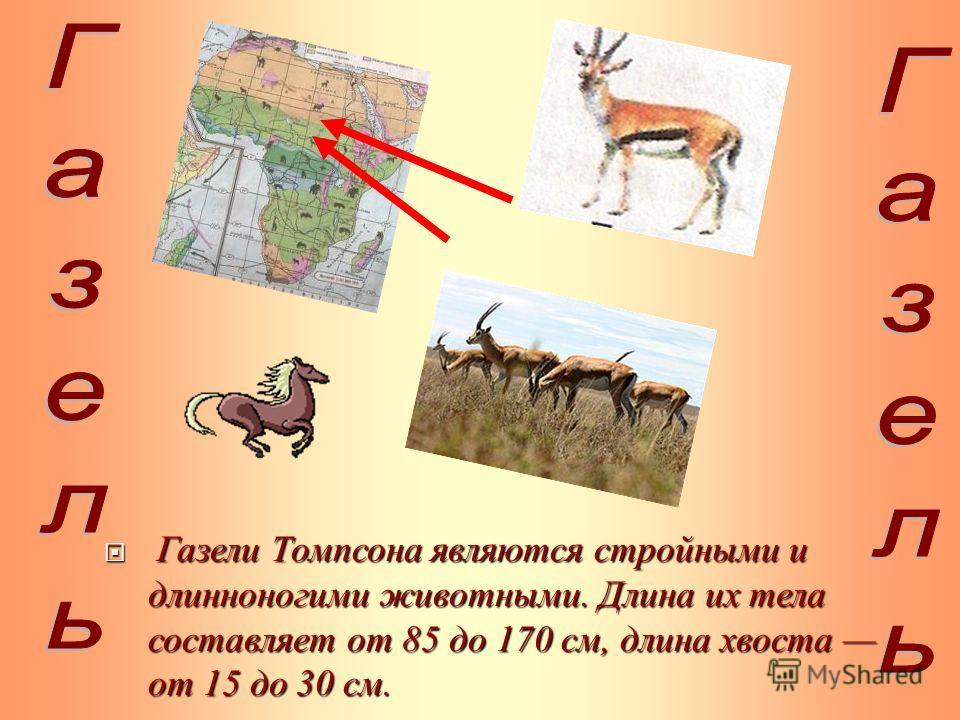 Газели Томпсона являются стройными и длинноногими животными. Длина их тела составляет от 85 до 170 см, длина хвоста от 15 до 30 см. Газели Томпсона являются стройными и длинноногими животными. Длина их тела составляет от 85 до 170 см, длина хвоста от