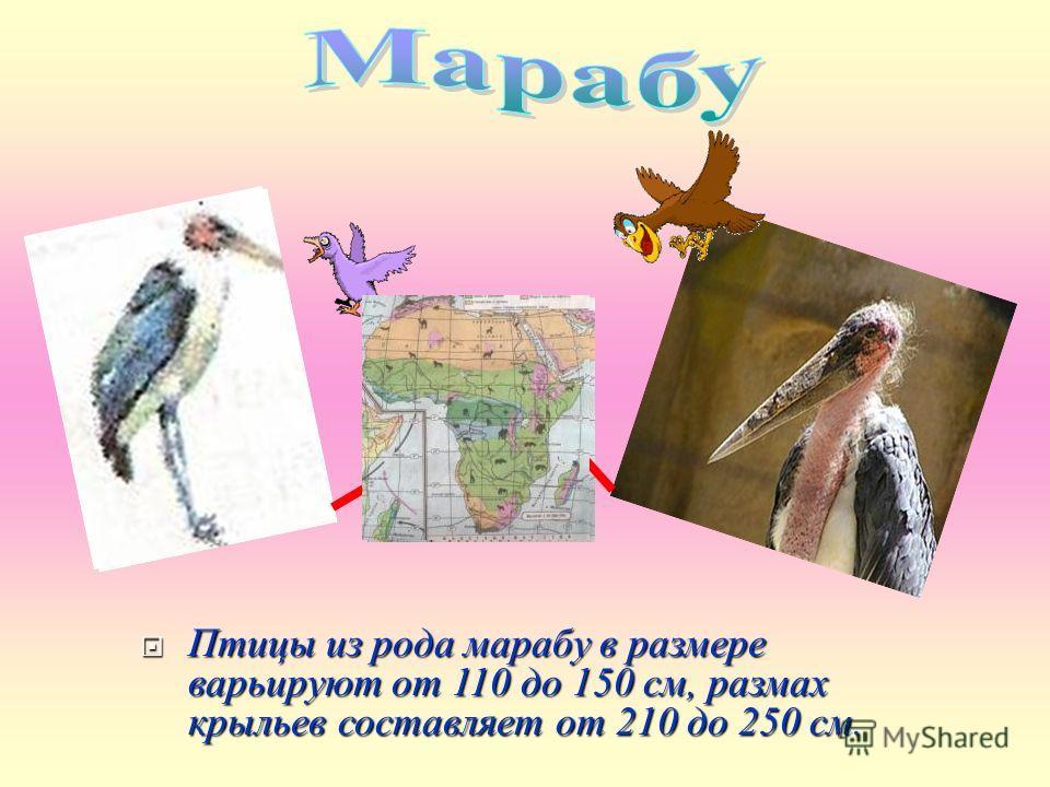 Птицы из рода марабу в размере варьируют от 110 до 150 см, размах крыльев составляет от 210 до 250 см. Птицы из рода марабу в размере варьируют от 110 до 150 см, размах крыльев составляет от 210 до 250 см.