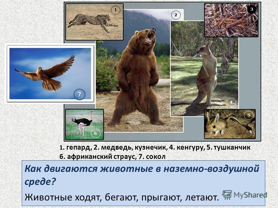 1. гепард, 2. медведь, кузнечик, 4. кенгуру, 5. тушканчик 6. африканский страус, 7. сокол Как двигаются животные в наземно-воздушной среде? Животные ходят, бегают, прыгают, летают. 7
