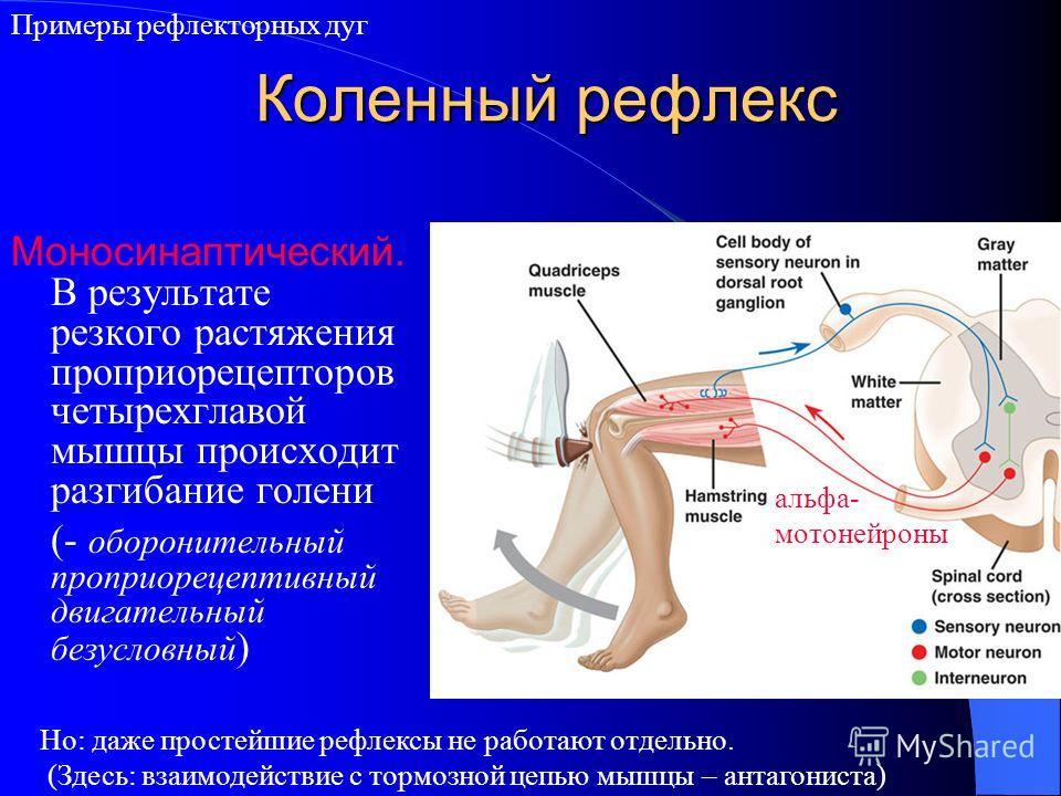 Коленный рефлекс Моносинаптический. В результате резкого растяжения проприорецепторов четырехглавой мышцы происходит разгибание голени (- оборонительный проприорецептивный двигательный безусловный ) Но: даже простейшие рефлексы не работают отдельно.