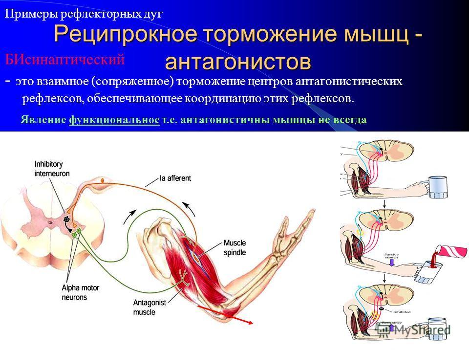 Реципрокное торможение мышц - антагонистов - это взаимное (сопряженное) торможение центров антагонистических рефлексов, обеспечивающее координацию этих рефлексов. Примеры рефлекторных дуг Явление функциональное т.е. антагонистичны мышцы не всегда БИс