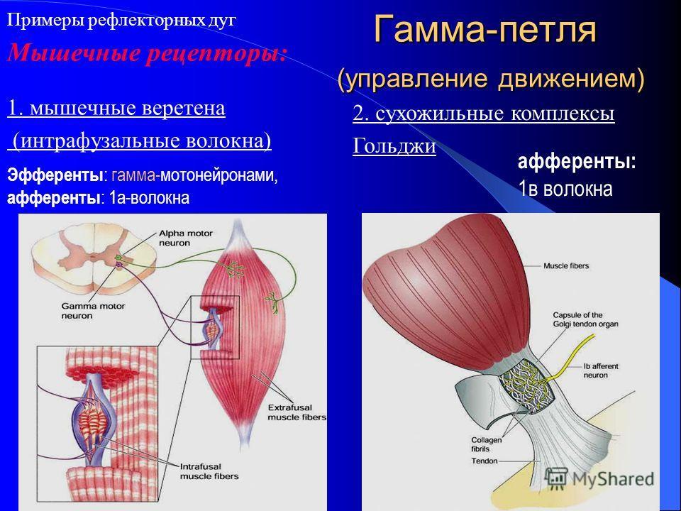 Гамма-петля (управление движением) 1. мышечные веретена (интрафузальные волокна) Эфференты : гамма-мотонейронами, афференты : 1а-волокна Примеры рефлекторных дуг афференты: 1в волокна 2. сухожильные комплексы Гольджи Мышечные рецепторы: