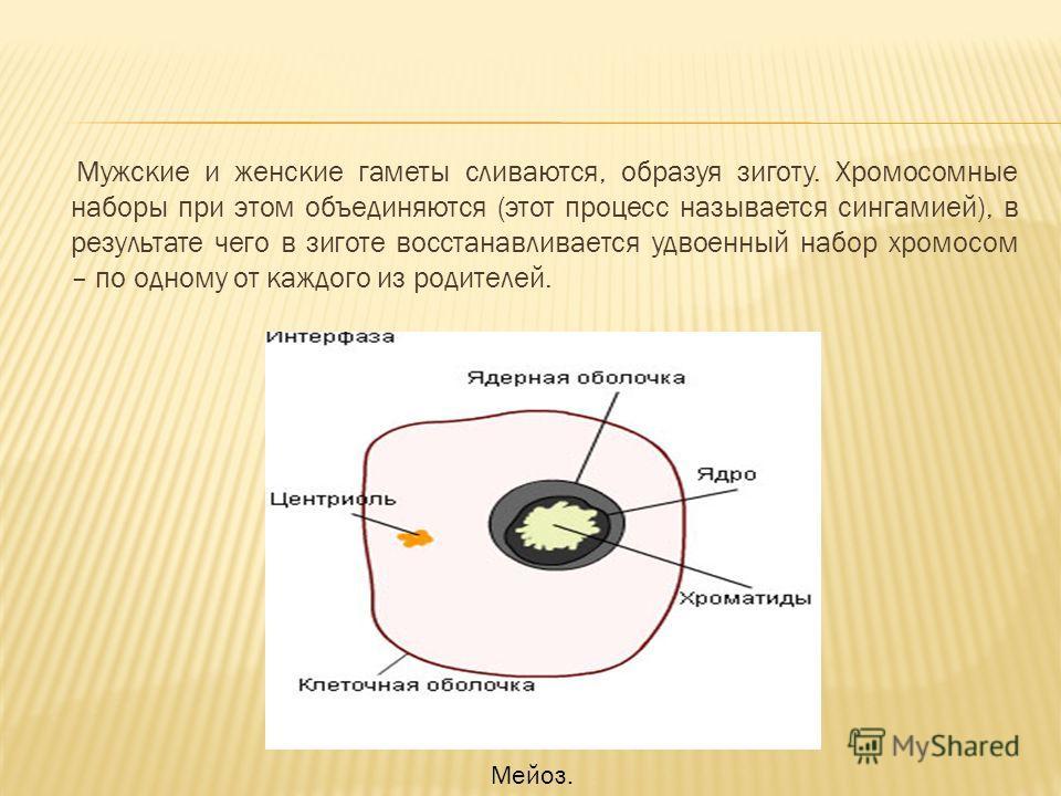 Мужские и женские гаметы сливаются, образуя зиготу. Хромосомные наборы при этом объединяются (этот процесс называется сингамией), в результате чего в зиготе восстанавливается удвоенный набор хромосом – по одному от каждого из родителей. Мейоз.