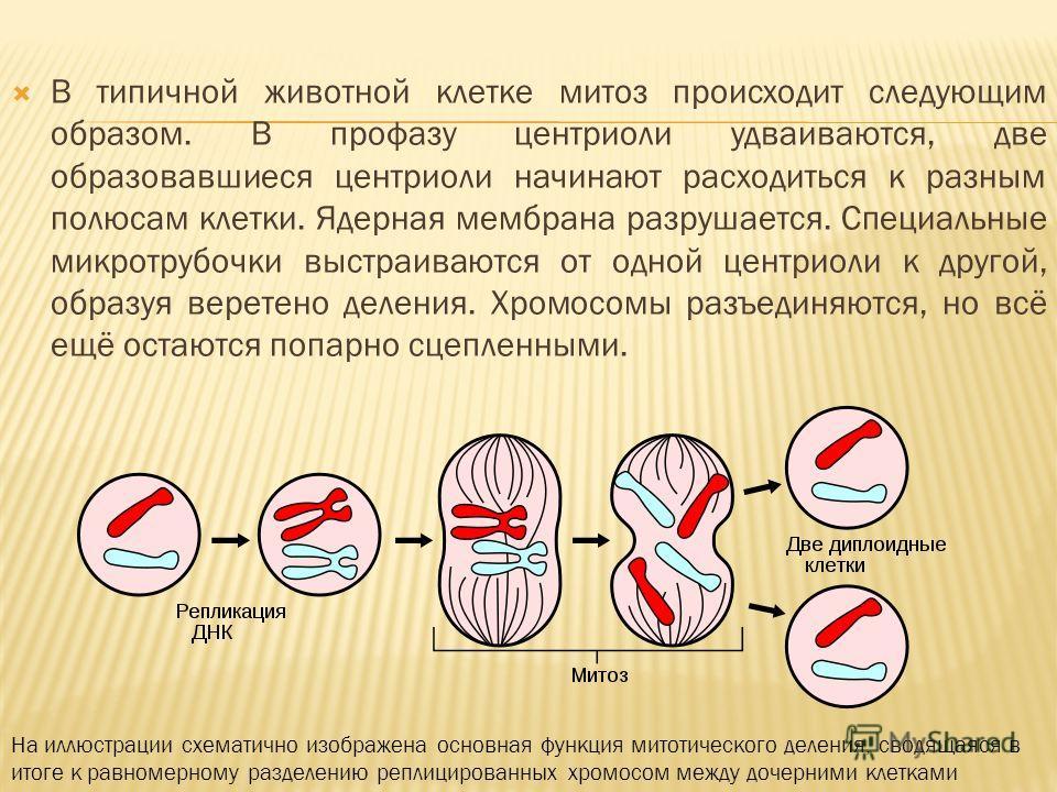 В типичной животной клетке митоз происходит следующим образом. В профазу центриоли удваиваются, две образовавшиеся центриоли начинают расходиться к разным полюсам клетки. Ядерная мембрана разрушается. Специальные микротрубочки выстраиваются от одной