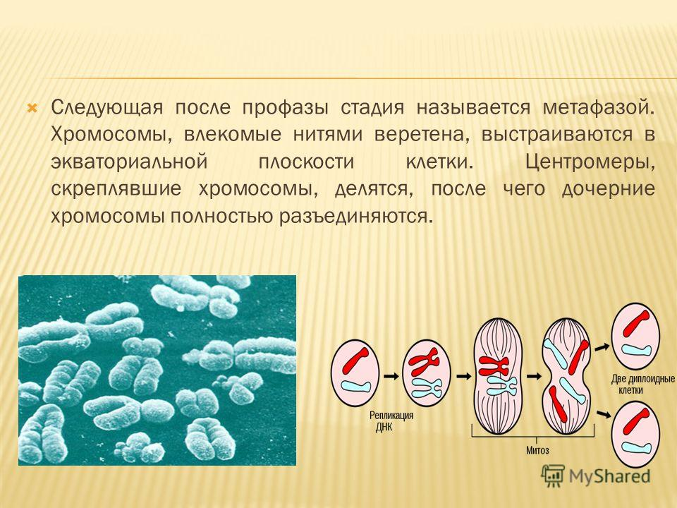Следующая после профазы стадия называется метафазой. Хромосомы, влекомые нитями веретена, выстраиваются в экваториальной плоскости клетки. Центромеры, скреплявшие хромосомы, делятся, после чего дочерние хромосомы полностью разъединяются.