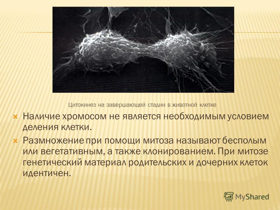 Цитокинез на завершающей стадии в животной клетке Наличие хромосом не является необходимым условием деления клетки. Размножение при помощи митоза называют бесполым или вегетативным, а также клонированием. При митозе генетический материал родительских
