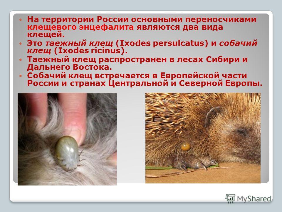 к На территории России основными переносчиками клещевого энцефалита являются два вида клещей. Это таежный клещ (Ixodes persulcatus) и собачий клещ (Ixodes ricinus). Таежный клещ распространен в лесах Сибири и Дальнего Востока. Собачий клещ встречаетс