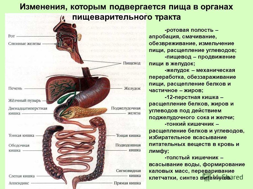 -ротовая полость – апробация, смачивание, обезвреживание, измельчение пищи, расщепление углеводов; -пищевод – продвижение пищи в желудок; -желудок – механическая переработка, обеззараживание пищи, расщепление белков и частичное – жиров; -12-перстная
