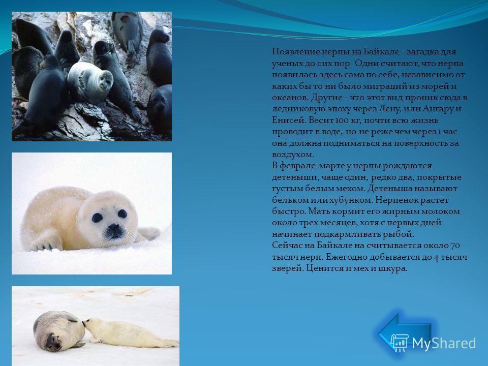 Появление нерпы на Байкале - загадка для ученых до сих пор. Одни считают, что нерпа появилась здесь сама по себе, независимо от каких бы то ни было миграций из морей и океанов. Другие - что этот вид проник сюда в ледниковую эпоху через Лену, или Анга
