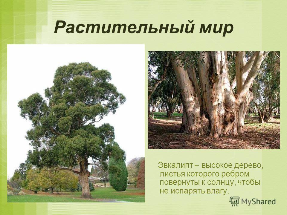 Растительный мир Эвкалипт – высокое дерево, листья которого ребром повернуты к солнцу, чтобы не испарять влагу.