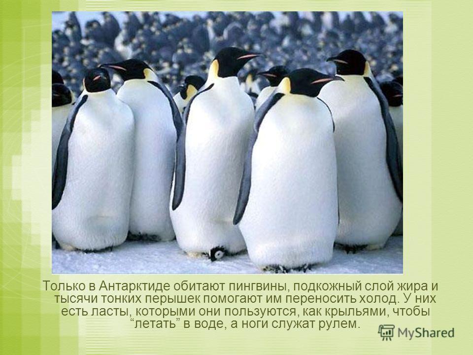 Только в Антарктиде обитают пингвины, подкожный слой жира и тысячи тонких перышек помогают им переносить холод. У них есть ласты, которыми они пользуются, как крыльями, чтобы летать в воде, а ноги служат рулем.
