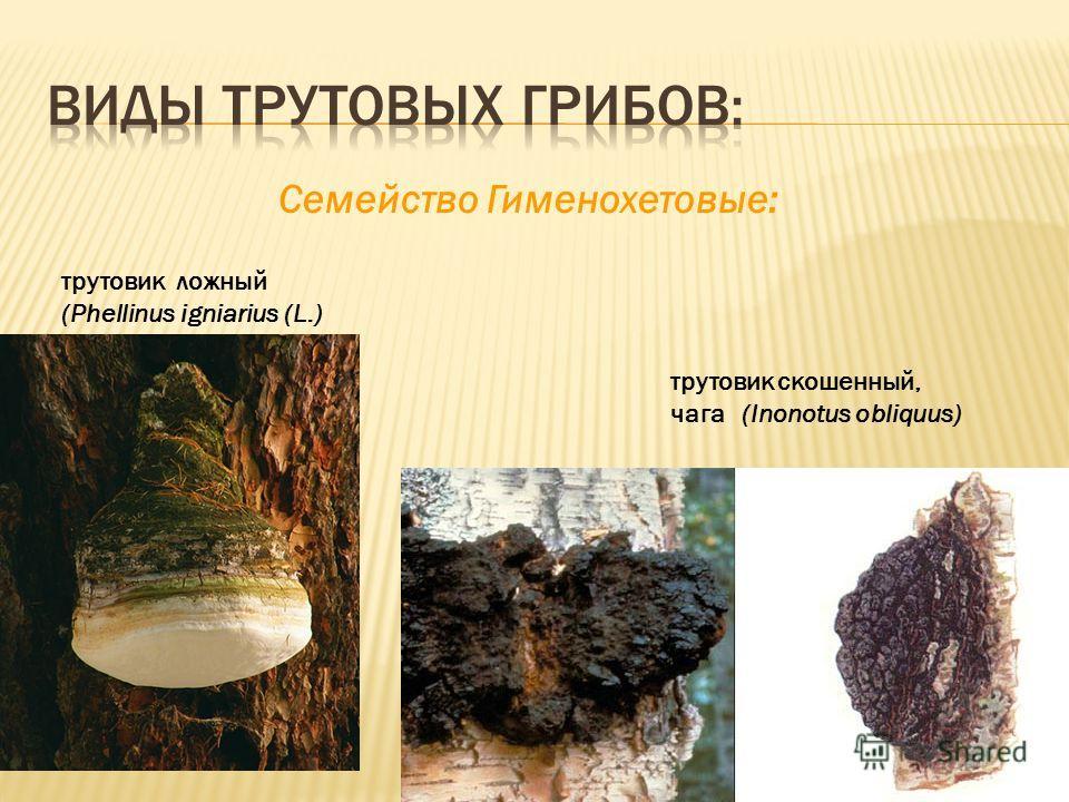 Cемейство Гименохетовые: трутовик ложный (Phellinus igniarius (L.) трутовик скошенный, чага (Inonotus obliquus)
