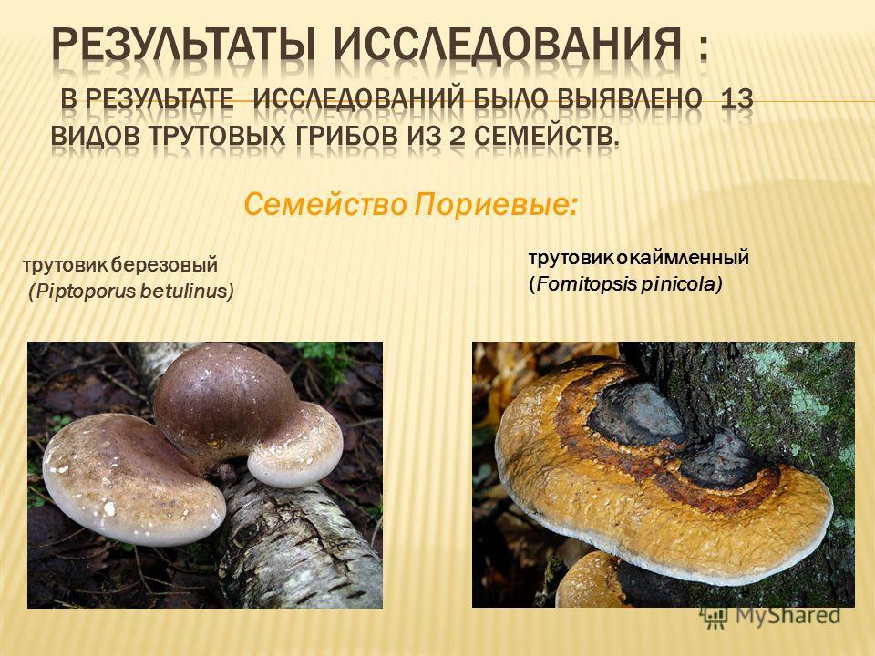 трутовик березовый (Piptoporus betulinus) Cемейство Пориевые: трутовик окаймленный (Fomitopsis pinicola)