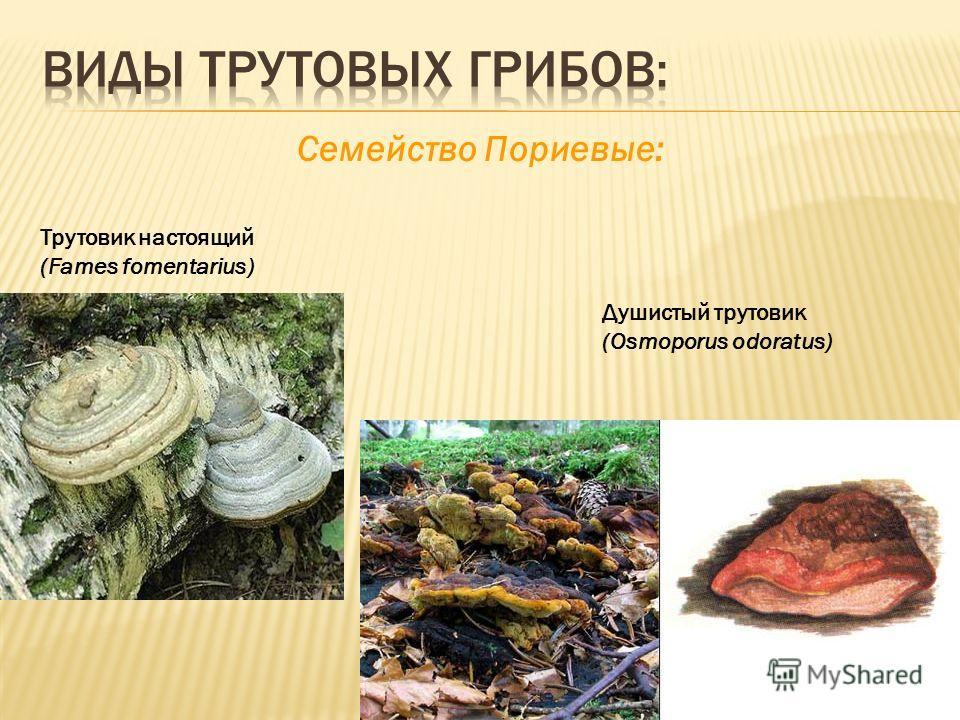 Cемейство Пориевые: Трутовик настоящий (Fames fomentarius) Душистый трутовик (Osmoporus odoratus)