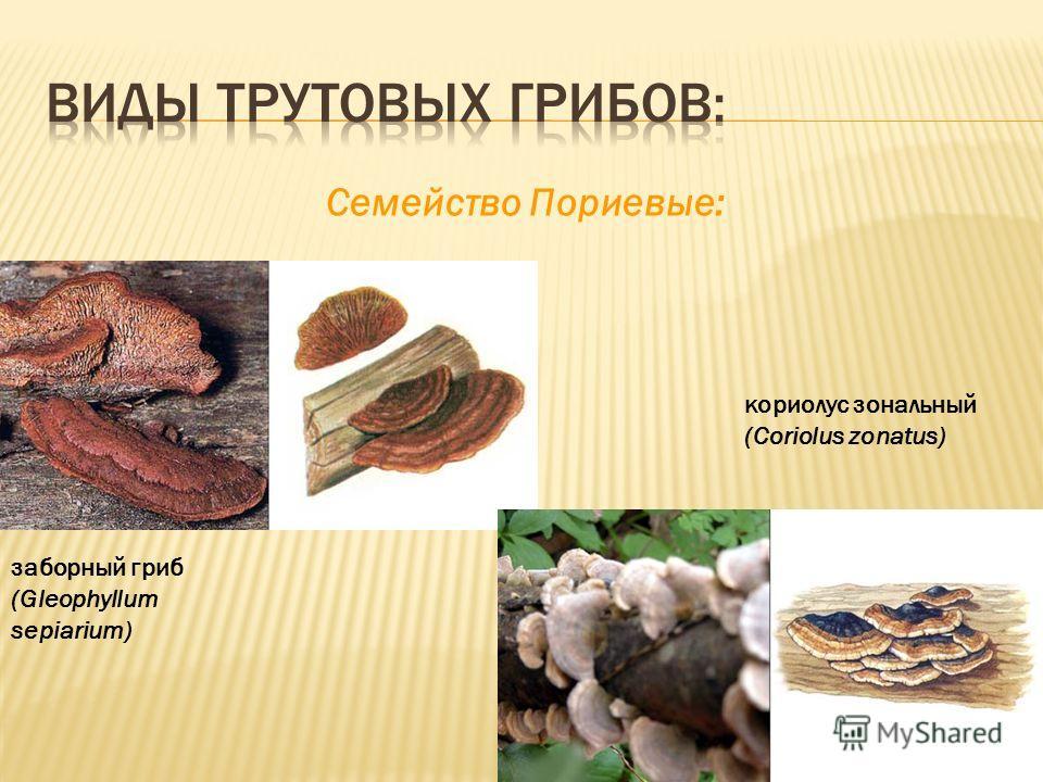 Cемейство Пориевые: кориолус зональный (Coriolus zonatus) заборный гриб (Gleophyllum sepiarium)