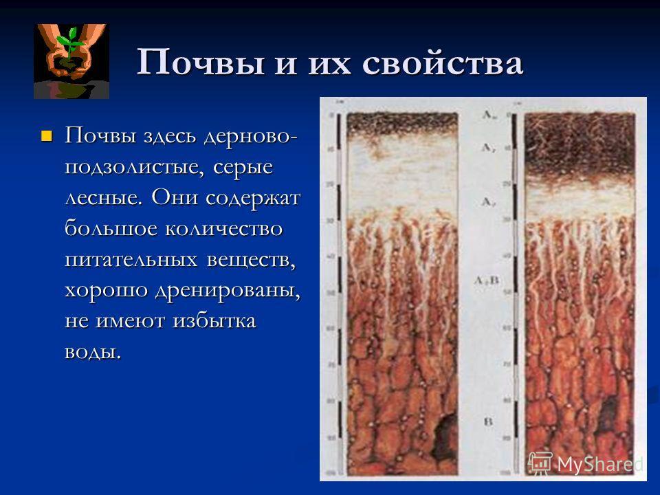 Почвы и их свойства Почвы здесь дерново- подзолистые, серые лесные. Они содержат большое количество питательных веществ, хорошо дренированы, не имеют избытка воды. Почвы здесь дерново- подзолистые, серые лесные. Они содержат большое количество питате