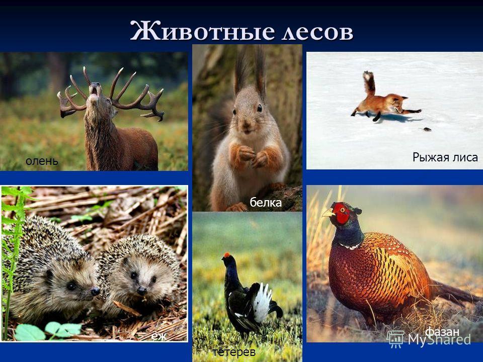 Животные лесов белка Рыжая лиса фазан олень ёж тетерев