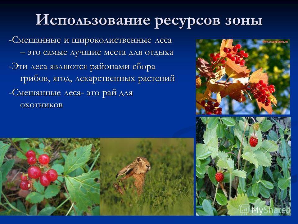 Использование ресурсов зоны -Смешанные и широколиственные леса – это самые лучшие места для отдыха -Эти леса являются районами сбора грибов, ягод, лекарственных растений -Смешанные леса- это рай для охотников