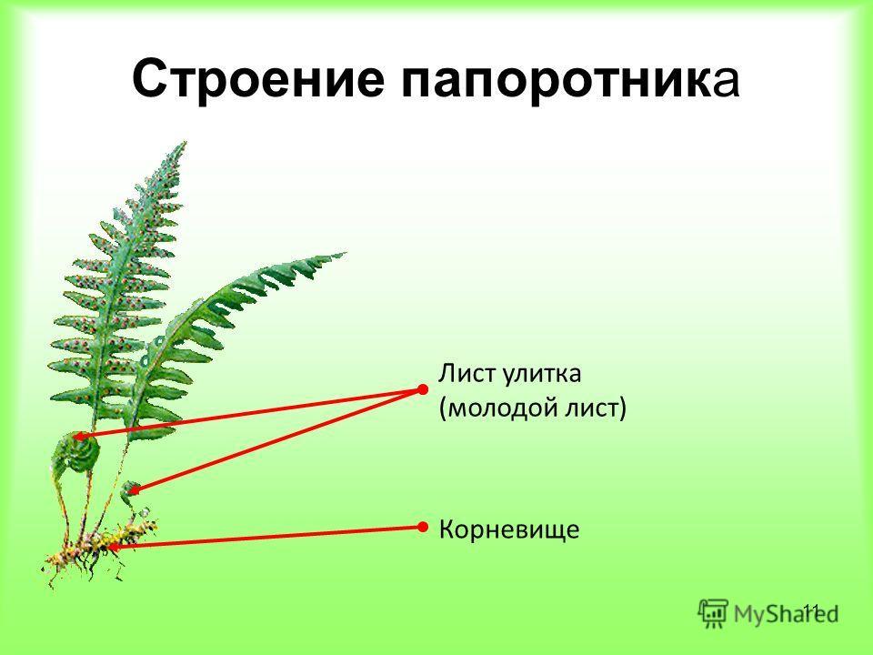 11 Строение папоротника Корневище Лист улитка (молодой лист)