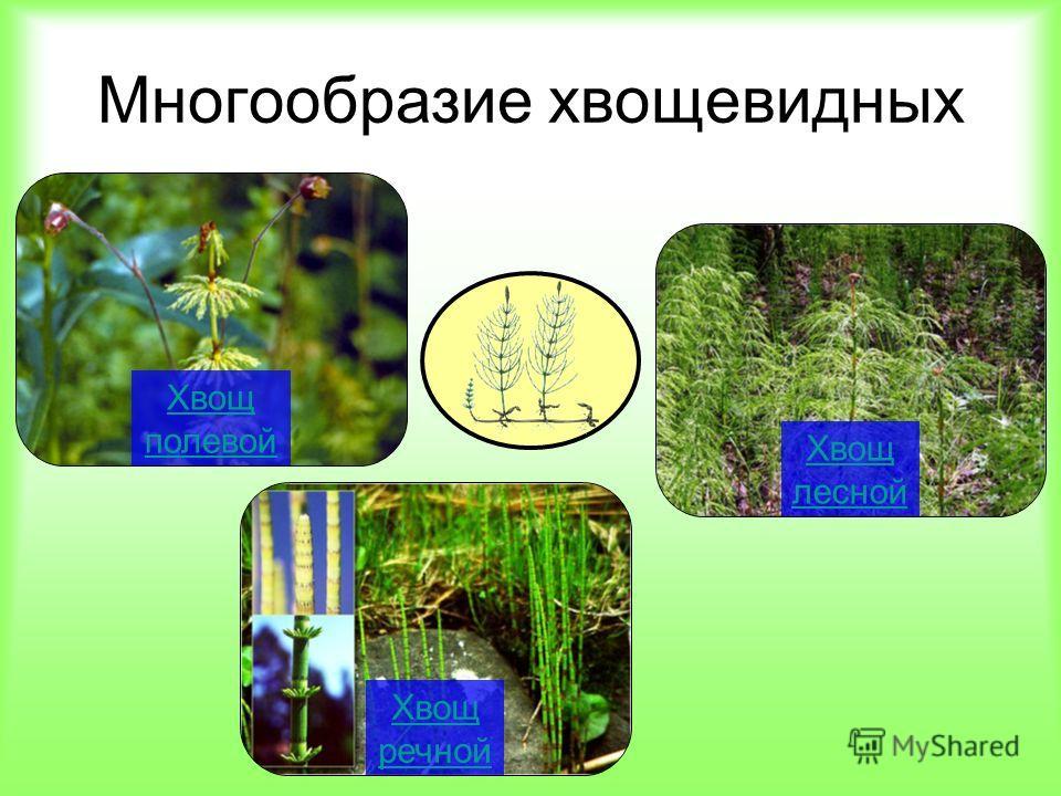 Многообразие хвощевидных Хвощ полевой Хвощ речной Хвощ лесной