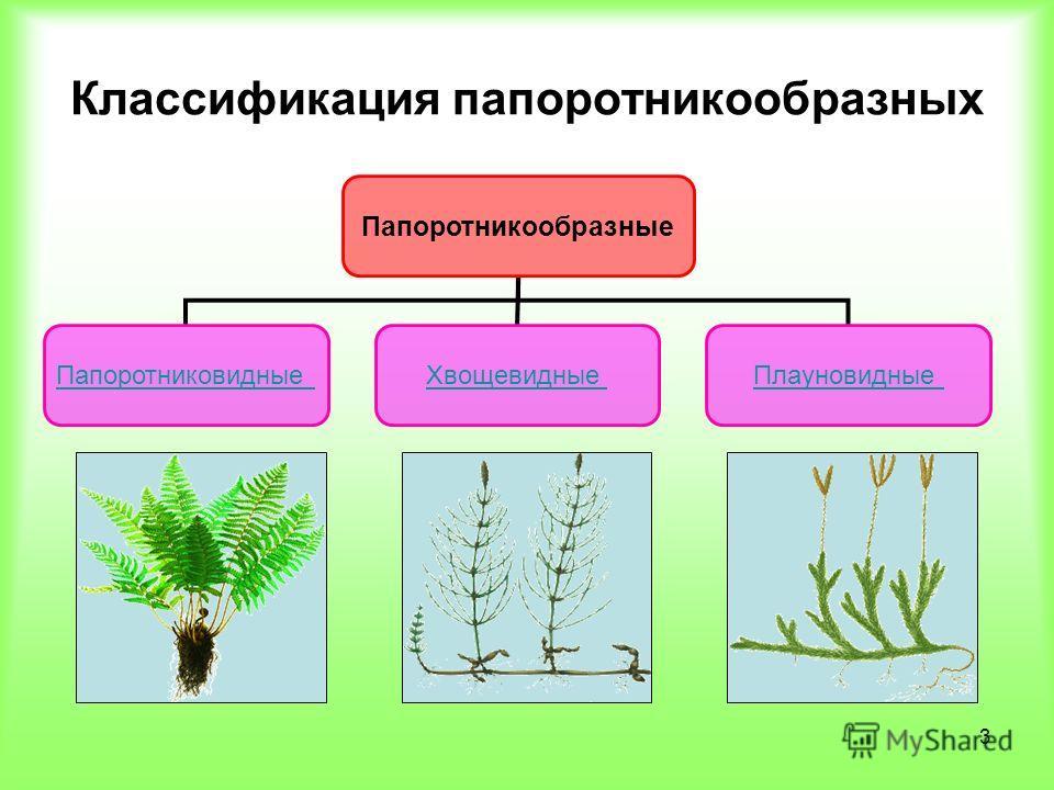 3 Классификация папоротникообразных Папоротникообразные ПапоротниковидныеХвощевидныеПлауновидные