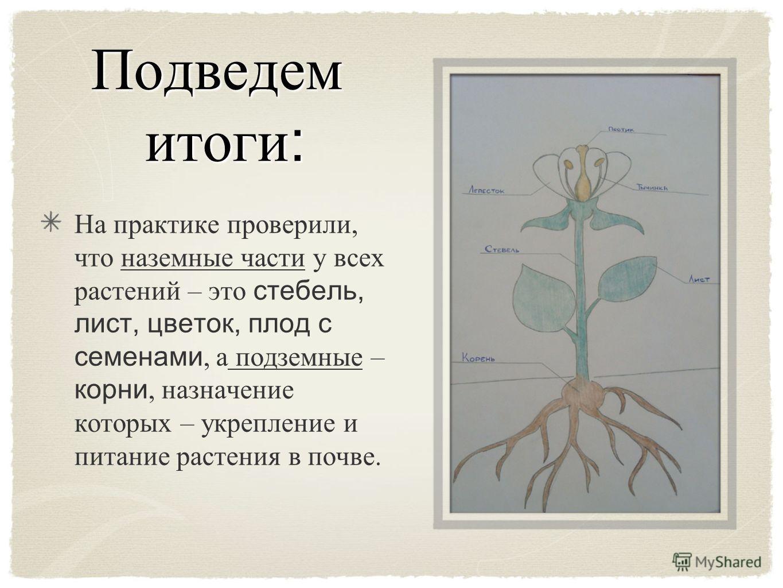 Подведем итоги : На практике проверили, что наземные части у всех растений – это стебель, лист, цветок, плод с семенами, а подземные – корни, назначение которых – укрепление и питание растения в почве.