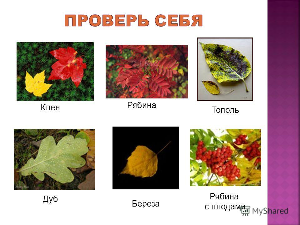 Клен Рябина Тополь Дуб Береза Рябина с плодами