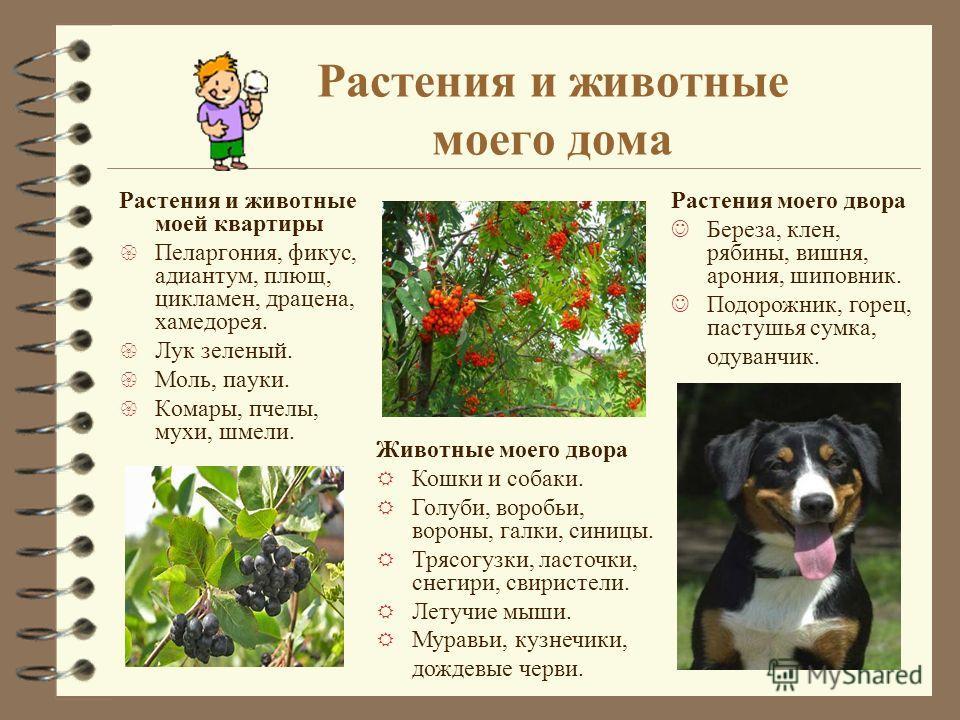 Растения и животные моего дома Растения и животные моей квартиры { Пеларгония, фикус, адиантум, плющ, цикламен, драцена, хамедорея. { Лук зеленый. { Моль, пауки. { Комары, пчелы, мухи, шмели. Животные моего двора R Кошки и собаки. R Голуби, воробьи,