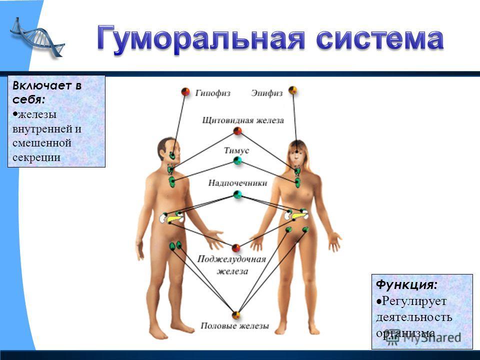 Включает в себя: железы внутренней и смешенной секреции Функция: Регулирует деятельность организма