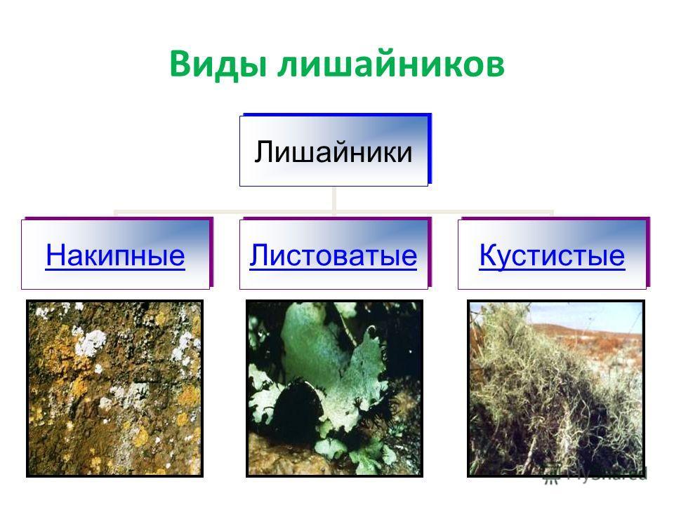 Виды лишайников Лишайники НакипныеЛистоватыеКустистые