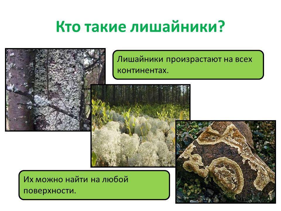 Кто такие лишайники? Лишайники произрастают на всех континентах. Их можно найти на любой поверхности.