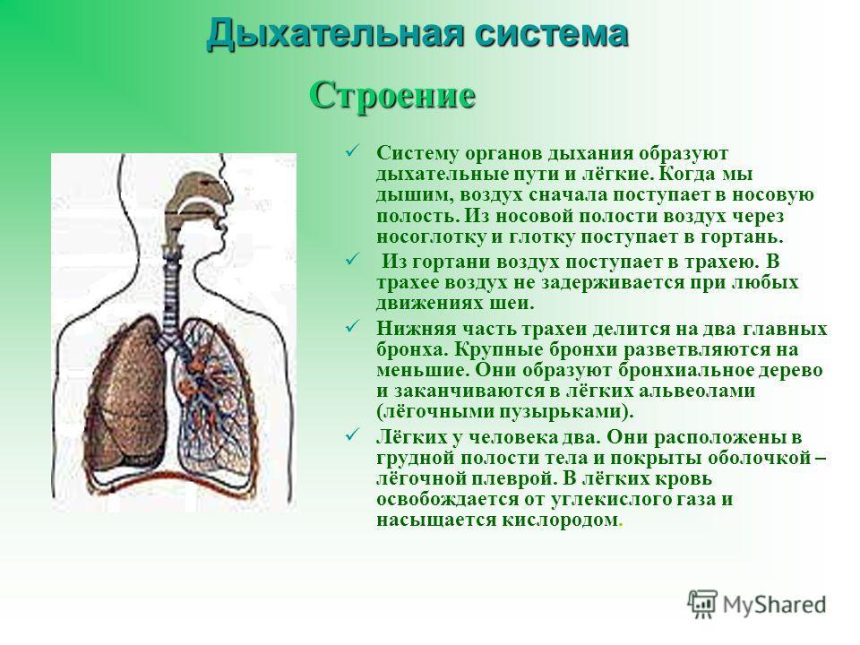 Дыхательная система Систему органов дыхания образуют дыхательные пути и лёгкие. Когда мы дышим, воздух сначала поступает в носовую полость. Из носовой полости воздух через носоглотку и глотку поступает в гортань. Из гортани воздух поступает в трахею.