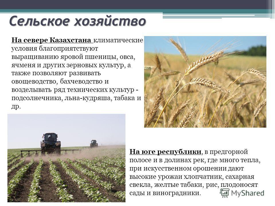Сельское хозяйство На севере Казахстана климатические условия благоприятствуют выращиванию яровой пшеницы, овса, ячменя и других зерновых культур, а также позволяют развивать овощеводство, бахчеводство и возделывать ряд технических культур - подсолне