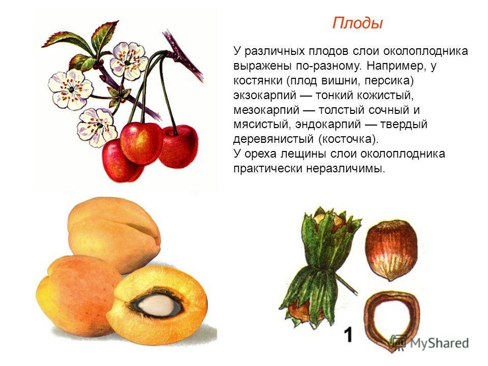 У различных плодов слои околоплодника выражены по-разному. Например, у костянки (плод вишни, персика) экзокарпий тонкий кожистый, мезокарпий толстый сочный и мясистый, эндокарпий твердый деревянистый (косточка). У ореха лещины слои околоплодника прак