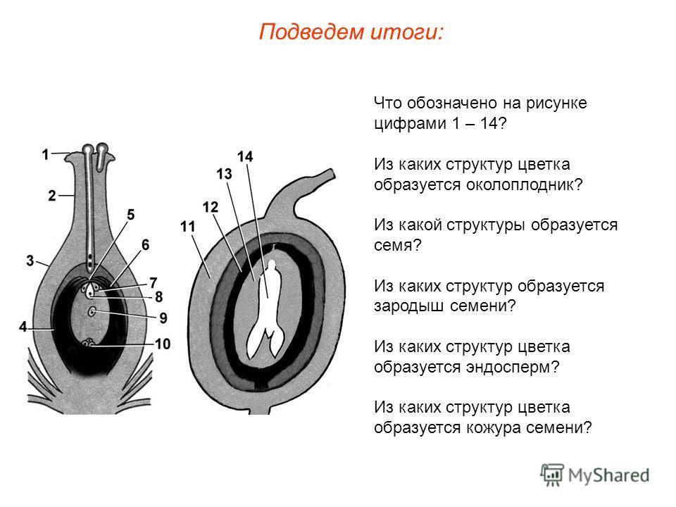Что обозначено на рисунке цифрами 1 – 14? Из каких структур цветка образуется околоплодник? Из какой структуры образуется семя? Из каких структур образуется зародыш семени? Из каких структур цветка образуется эндосперм? Из каких структур цветка образ