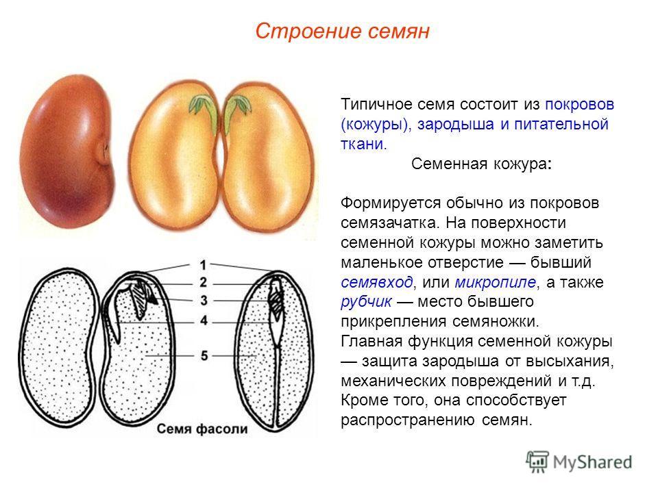 Типичное семя состоит из покровов (кожуры), зародыша и питательной ткани. Семенная кожура: Формируется обычно из покровов семязачатка. На поверхности семенной кожуры можно заметить маленькое отверстие бывший семявход, или микропиле, а также рубчик ме