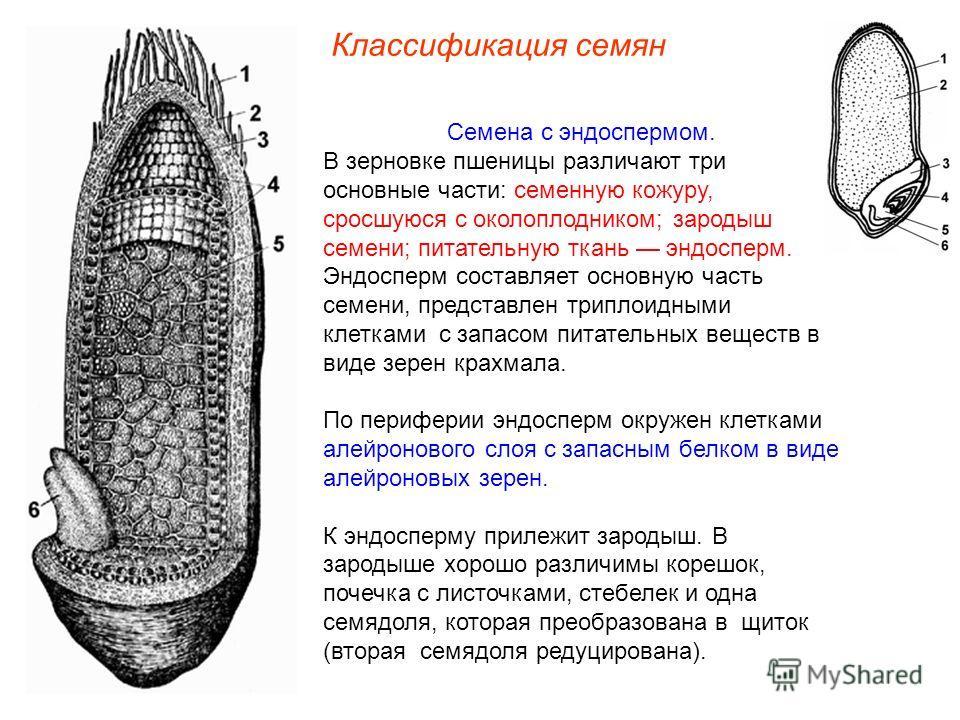 Семена с эндоспермом. В зерновке пшеницы различают три основные части: семенную кожуру, сросшуюся с околоплодником; зародыш семени; питательную ткань эндосперм. Эндосперм составляет основную часть семени, представлен триплоидными клетками с запасом п
