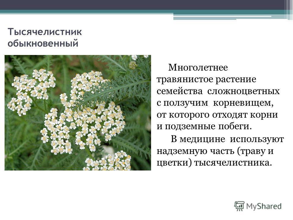 Тысячелистник обыкновенный Многолетнее травянистое растение семейства сложноцветных с ползучим корневищем, от которого отходят корни и подземные побеги. В медицине используют надземную часть (траву и цветки) тысячелистника.